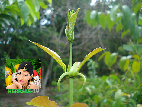 Uncaria tomentosa herbals