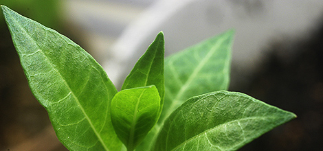 Henna (Lawsonia inermis)