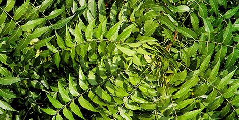 Nīms (Azadirachta indica)