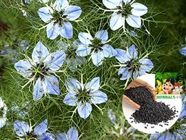 Black cumin, kalonji, Калинджи, Roman coriander, Nigella sativa Herbals
